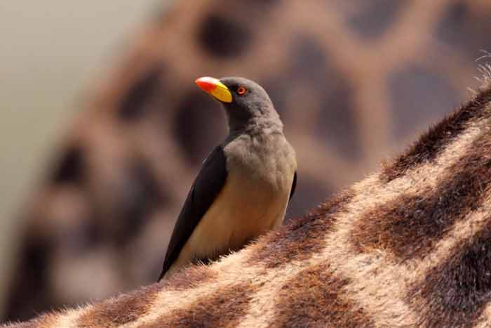 Yellow billed ox pecker Birding