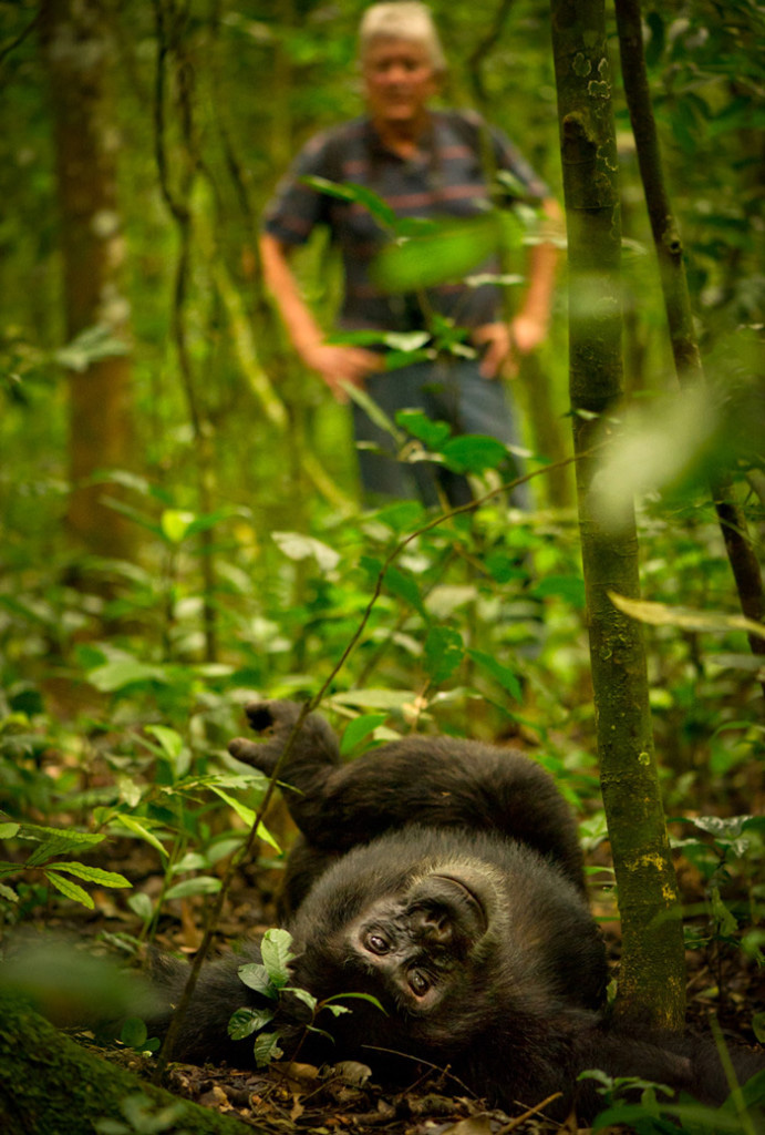 Chimpanzee relaxing in National park while man watches